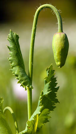 Detail of flower bud of opium poppy papaver somniferum, white colored poppy is grown in Czech Republic