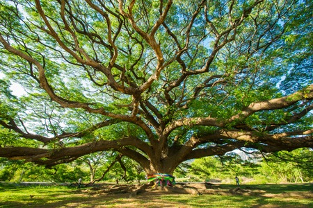 asian natural: Tree
