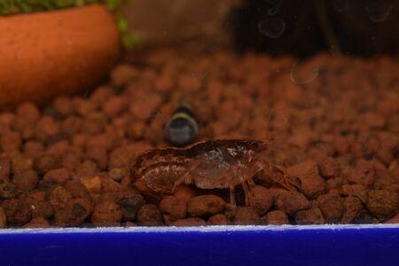 amano: Dwarf Shrimp Stock Photo