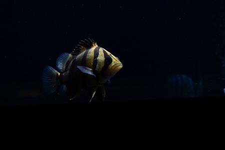 barbus: SIAMESE TIGER FISH