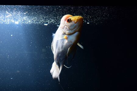 peacock cichlid: Cichlid