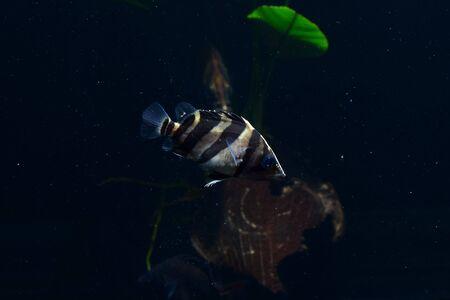 tetrazona: SIAMESE TIGER FISH