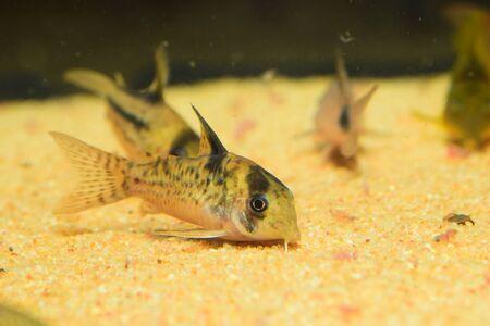 bagre: Corydoras Catfish