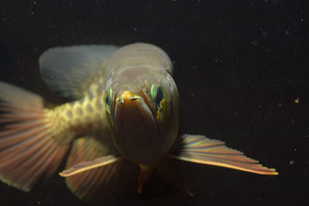 arowana: arowana Stock Photo