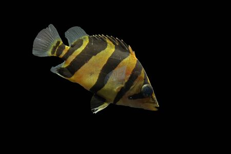 tetrazona: One of the most popular fish species feed