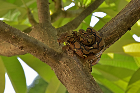 reliever: A small python lying on a tree, Creeping reliever with beautiful skin type.