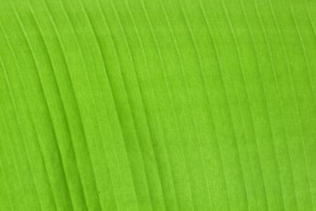 Leaf background, Green leaf, Green leaf full of background, Naturally Stock Photo