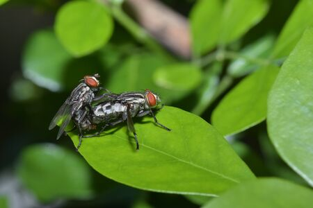 reproducing: Two fly insects are reproducing.