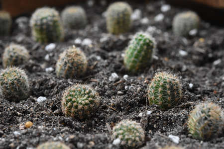 Cactus, That many people like to raise for beauty Reklamní fotografie
