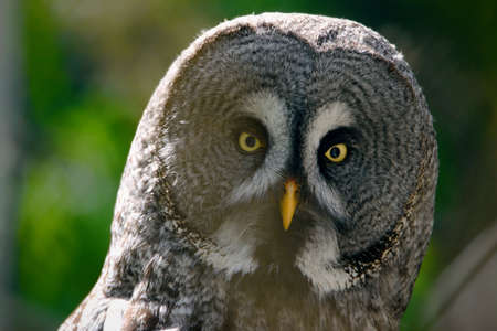 The great grey owl or great gray owl Strix nebulosa
