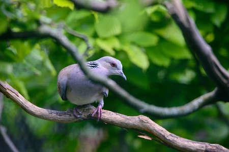 The European turtle dove Streptopelia turtur Editorial