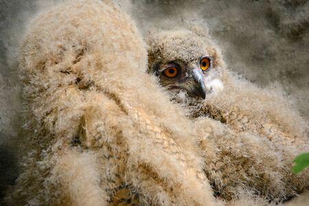 Eurasian eagle-owl (Bubo bubo) Stock Photo