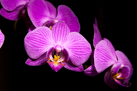 orchidea: Beautiful purple orchidea flower with black background