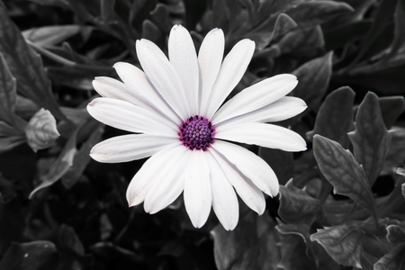 moonflower: White marguerite with violet pollen and gray background