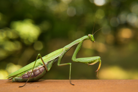 mantid: Green mantide in the nature, detail