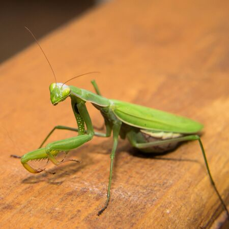 mantid: Green mantide look like extra-terrestrial on the wooden table Stock Photo