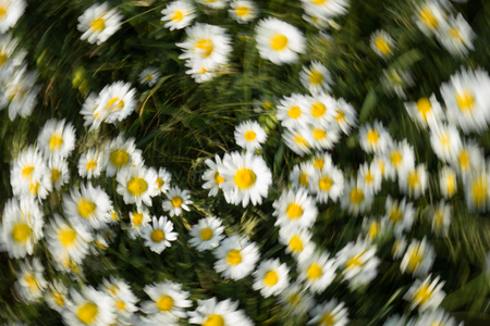 moonflower: White flowers circle, nice spring flowers on the meadow, blurred image Stock Photo