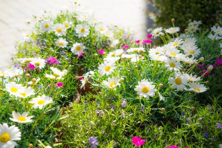 moonflower: Color flower carpet, small white marguerite in sunlight Stock Photo