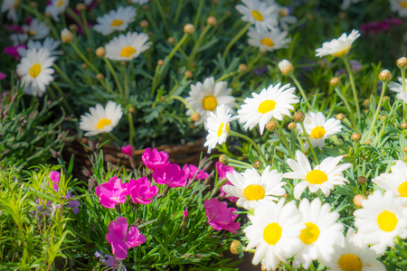 Flower decoration, pink and white flowers in flowerpots