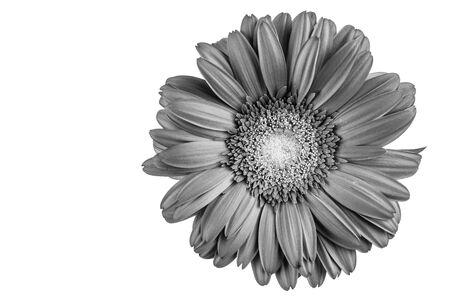 ガーベラの花、黒と白の詳細 写真素材 - 78701989