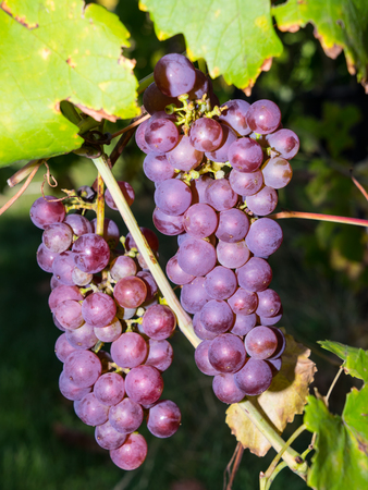Bunch of grapes in vineyard, detail, red grape