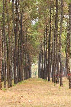Pine of Thai photo