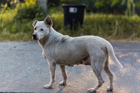 puta: Mira Perro tailandés