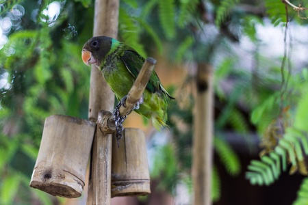 domesticated: Green Parrot Stock Photo