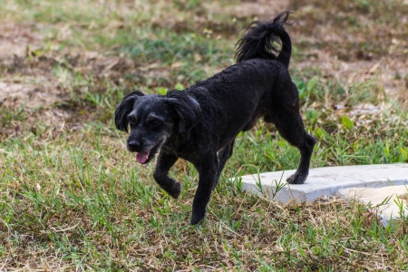 doggy position: Small black dog walking