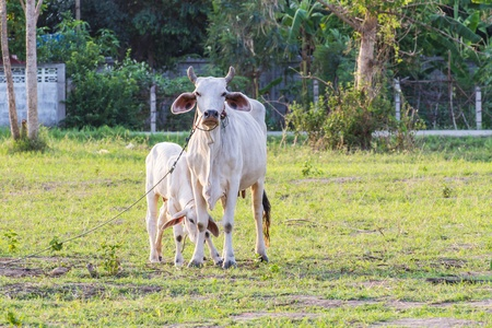 Thai mother cow with young calf resting in a field photo