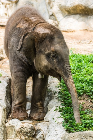 Baby elephant in Chiangmai  , Thailand photo