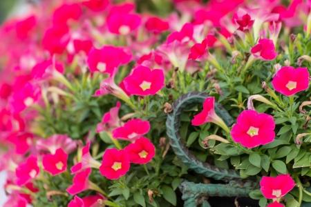 Pink petunias photo