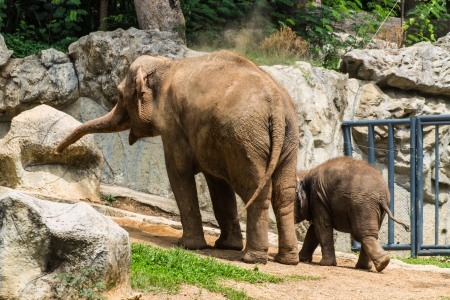 Mother and baby elephant in Chiangmai Zoo , Thailand photo