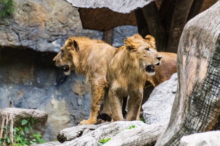Two Lion in Chiangmai Zoo , Thailand photo
