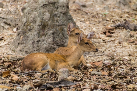 Two Small deer in Chiangmai Zoo , Thailand photo