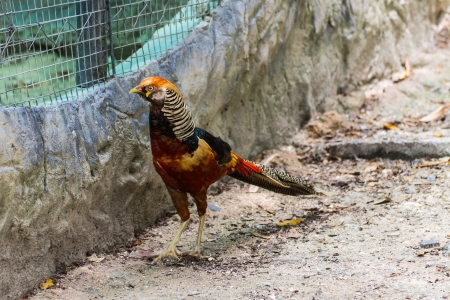 Orange pheasant in Chiangmai Zoo , Thailand photo