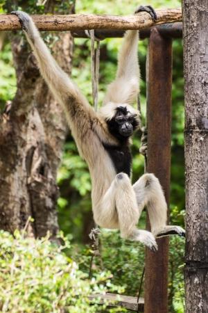 sandakan: Gibbon in Chiangmai , Thailand