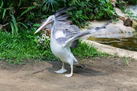 cygnet: Swan wings in Chiangmai , Thailand Stock Photo