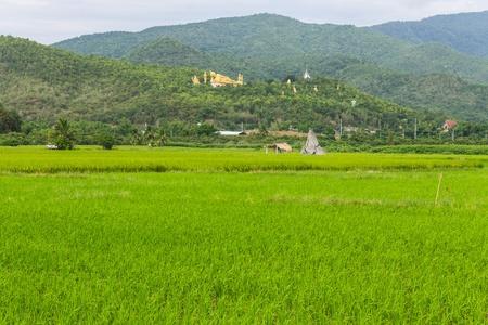 chiangmai: Thai field and Golden Buddha big statue at Wat Mokkanlan in Chomthong , Chiangmai Thailand