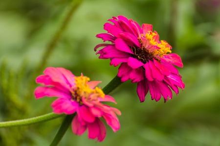 Pink Straw flower photo