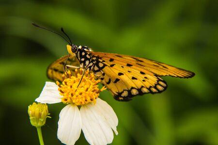 Vlinder voeden zich met kleine witte bloem