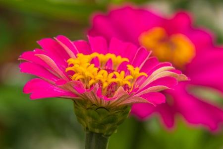 Macro Pink Straw flower photo