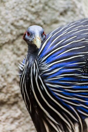 Blue Turkey photo