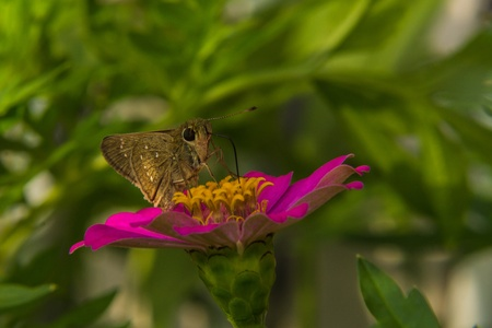 Butterfly feeding on Pink Straw flower photo
