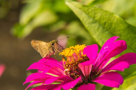 plexippus: Butterfly feeding on Pink Straw flower