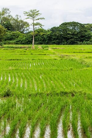 Rice field in Chiangmai , Northen Thailand photo