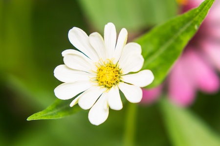 White Straw flower photo