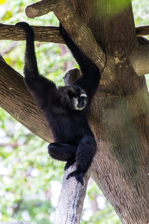 Gibbon in Chiangmai Zoo , Thailand photo