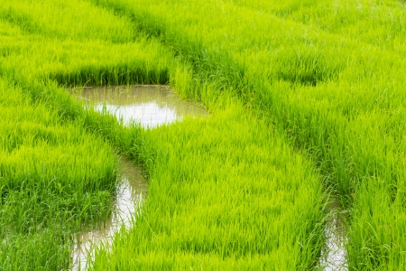 A rice seedlings in Chiangmai Thailand photo