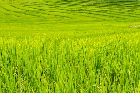 Beautiful green Rice Terraces in Doi inthanon, Maeglangluang Karen villages photo